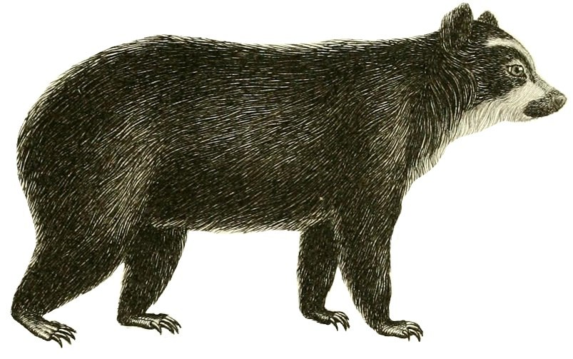 Spectacled bear (1829)