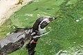 Spheniscus humboldti (Manchot de Humboldt) - 466.jpg