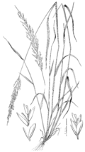Sphenopholis nitida (as Eatonia pennsylvanica) LS-1897.png