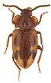 Spinolyprops thailandicus holotype - ZooKeys-243-083-g003-10.jpeg