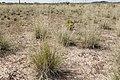 Sporobolus airoides - Flickr - aspidoscelis (2).jpg