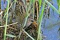 Spotted Crake (Porzana porzana) (26450478032).jpg