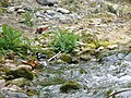 Spotted Forktail - Enicurus maculatus - P1070839.jpg