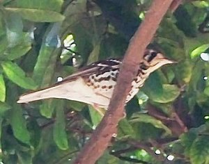 Imatong Mountains - Spotted ground thrush in the Imatong.