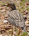 Spotted Thick-knee (Burhinus capensis) (32452706750).jpg