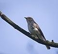 Spotted flycatcher (41586632755).jpg