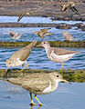Spotted sandpiper From The Crossley ID Guide Eastern Birds.jpg