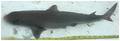 Squalus cubensis - pone.0010676.g004.png
