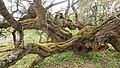 Starý strom moruše čiernej.jpg