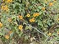 Starr-010419-0048-Thunbergia alata-habit-Kula-Maui (23905417133).jpg