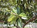 Starr-010424-0010-Ficus elastica-leaves-Kihei-Maui (24506272436).jpg