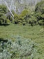 Starr-020226-0033-Buddleja davidii-habit-Kokee-Kauai (24438598392).jpg