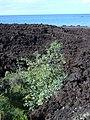 Starr-040410-0015-Nicotiana glauca-habit-LaPerouse-Maui (24674878196).jpg