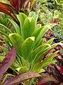Starr-060928-0444-Cordyline fruticosa-habit-County Nursery Kahului-Maui (24748608782).jpg