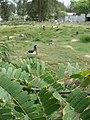 Starr-080608-7470-Tamarindus indica-leaves and Laysan albatross-Citrus grove Sand Island-Midway Atoll (24890005706).jpg