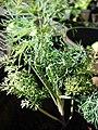 Starr-081031-0428-Anethum graveolens-leaves-Makawao-Maui (24926744115).jpg