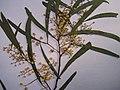 Starr-090625-1855-Acacia retinodes-voucher 090513 01-Waipoli Rd Kula-Maui (24874126391).jpg