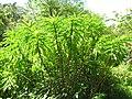 Starr-090702-2024-Costus speciosus-habit-Puaa Kaa Park Hana Hwy-Maui (24942024096).jpg