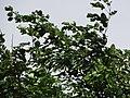 Starr-090806-4017-Pterocarpus indicus f echinatus-leaves-Kahului-Maui (24945447856).jpg