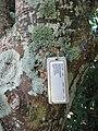Starr-091104-9198-Spondias purpurea-plant tag-Kahanu Gardens NTBG Kaeleku Hana-Maui (24361936563).jpg