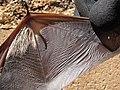 Starr-100907-9075-Eucalyptus sp-habitat with Hawaiian hoary bat Lasiurus cinereus semotus-Olinda-Maui (25025074806).jpg