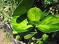 Starr-110215-1324-Clusia rosea-variegated foliage-KiHana Nursery Kihei-Maui (25049744606).jpg