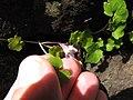 Starr-110307-1950-Cymbalaria muralis-flowering habit-Kula Botanical Garden-Maui (24959158072).jpg