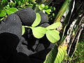 Starr-110609-6086-Buxus sp-leaves-Shibuya Farm Kula-Maui (24801089100).jpg