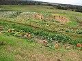Starr-111004-0573-Cucurbita pepo-pumpkin patch-Kula Country Farms-Maui (24750701279).jpg