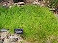 Starr-120504-5520-Eleocharis obtusa-habit-Maui Nui Botanical Garden-Maui (24774498789).jpg