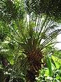 Starr-120522-6435-Phoenix roebelenii-ha bit-Iao Tropical Gardens of Maui-Maui (24513037984).jpg