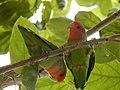 Starr-140711-1041-Cordia subcordata-tree with love birds-Kanani Rd Kihei-Maui (25244483215).jpg