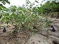 Starr-150325-0579-Solanum torvum-few plants-Community Garden Sand Island-Midway Atoll (25172908681).jpg