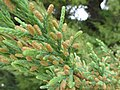 Starr-150327-0686-Juniperus bermudiana-male cones-Cable Co Building Sand Island-Midway Atoll (25175243421).jpg