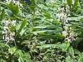 Starr 030729-0113 Hedychium flavescens.jpg