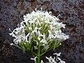 Starr 030805-0030 Centranthus ruber.jpg