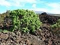 Starr 041223-2014 Rauvolfia sandwicensis.jpg