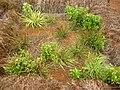 Starr 041228-2398 Eragrostis variabilis.jpg