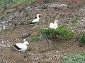 Starr 060228-6399 Chenopodium oahuense.jpg