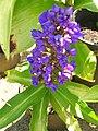 Starr 060905-8752 Dichorisandra thyrsiflora.jpg