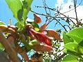 Starr 060922-9119 Erythrina crista-galli.jpg