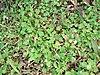 Starr 070221-4855 Erigeron bellioides