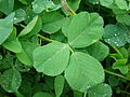 Starr 070313-5647 Trifolium repens.jpg