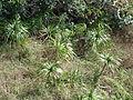 Starr 070405-6800 Freycinetia arborea.jpg