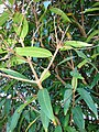 Starr 070604-7247 Syzygium jambos.jpg