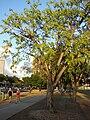Starr 070727-7620 Pterocarpus indicus.jpg