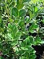 Starr 080117-1956 Buxus microphylla var. japonica.jpg