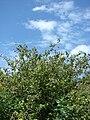Starr 080610-8378 Abutilon grandifolium.jpg