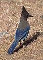 Steller's Jay (9122171066).jpg