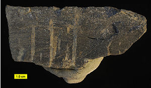 Stigmatella (bryozoan) - Stigmatella personata; trepostome bryozoan encrusting the underside of a carbonate hardground; Corryville Formation; Upper Ordovician; Mason County, Kentucky.